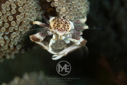 Porcelain crab by Arno Enzo