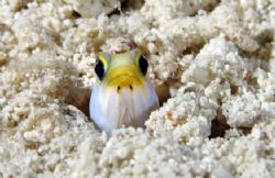 Groundhog Day. Jawfish, Turks & Caicos by Andy Lerner