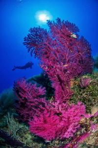 Red Mediterranean Seafan by Marco Gargiulo