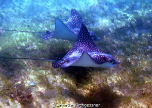 How lucky can one get to catch this shot while snorkeling... by Annette Kirchgessner