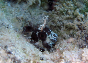 Longhorn blenny, new in caribbean!!...snorkeling shoot by Durand Gerald