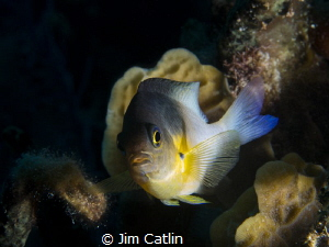 Bicolour damsel fish shot with remote strobe by Jim Catlin