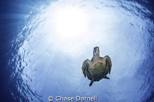 Turtle Dive  West Side, Grand Cayman! by Chase Darnell