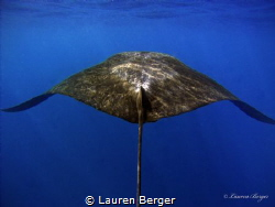 """""""The Following""""  Trying to keep up with this Manta Ray w... by Lauren Berger"""