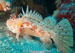 Fish Chapon by François Carloni