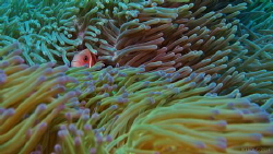 Clown & Anemone by Kf Leong
