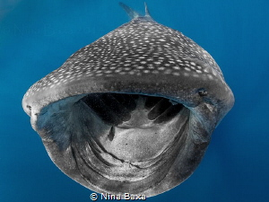 Open Wide! Feeding Whale Shark with eggs and Remoras see... by Nina Baxa