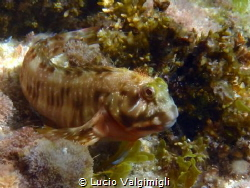 Rock Goby (I think) by Lucio Valgimigli