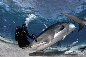 Theres nothing like a big Tiger Shark stirring up the act... by Steven Anderson