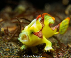 Frog fish  Taken with canon PowerShot S120 canon housing... by Ajiex Dharma