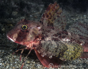 Gurnard.