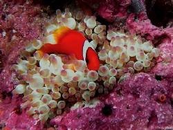 single bar clown fish and bulb anemone by Kf Leong