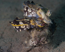 """Flamboyant cuttlefish. """"I said 'Please LINE up, not PILE... by Arno Enzo"""