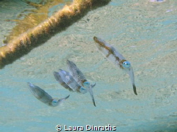 A school of juvenile reef squids under the surface by Laura Dinraths