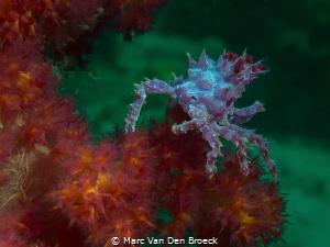 candy from lembeh by Marc Van Den Broeck