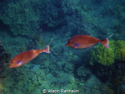 These Unicorn Fish I saw in Maui, I believe this is Honol... by Alison Ranheim