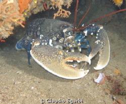 Homarus gammarus Tuscany Lobster by Claudio Sgarbi