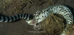 Sea krait feasting on a moray eel by Arno Enzo