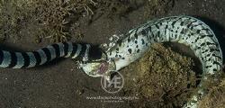 Sea krait feasting on a moray eel by Arno Enzo