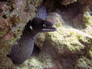 Black Moray taken in Pal Mar Cave off the south coast of ... by Ally Smith