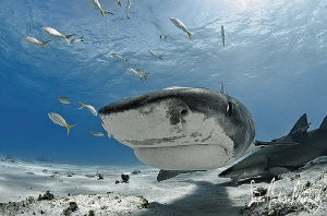 This beautiful Tiger Shark harmlessly investigates from a... by Steven Anderson