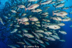 Snappers shoal by Leena Roy