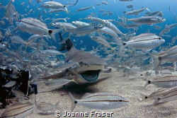Smiling lemon Shark, shot on the Bonaire in Jupiter Flori... by Joanne Fraser