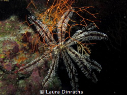 Savigny's feather star inside a reef crevice by Laura Dinraths