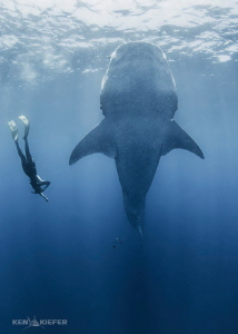 """Whale Shark """"Botellita"""" They get vertical in dense areas... by Ken Kiefer"""