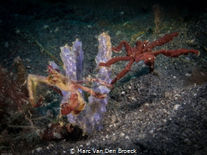 two waycrab lembeh by Marc Van Den Broeck