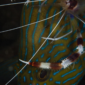 The boxer shrimp feels comfortable as a rider on the grou... by Dmitry Starostenkov