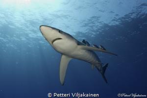 Blue shark, Azores. by Petteri Viljakainen