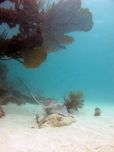 southern stingray in barbuda ... apnea shoot by Durand Gerald