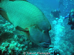 Large 1.5m Napoleon Wrasse just cruising between us and l... by Trevor Flanagan