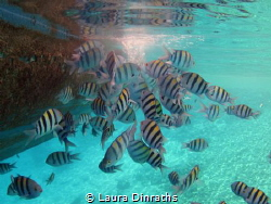 A school of sergeant major damselfish feeding from a boat... by Laura Dinraths