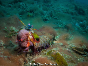 egg carrier in lembeh by Marc Van Den Broeck