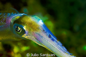 Squid colors by Julio Sanjuan