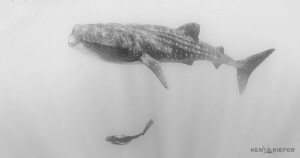 My friends is a graceful free diver and smoothly glides u... by Ken Kiefer
