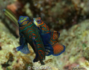 Mandarin fish love.... They were quite shy this evening. ... by Cari Duffin