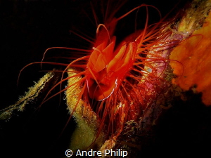 "Electric file clam in a cave shows her ""electric"" flashin... by Andre Philip"