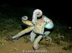 Dusk diving, an octopus's reaction after being repeatedly... by Laura Dinraths