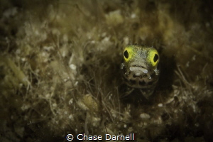 Secretary Blenny, Grand Cayman by Chase Darnell