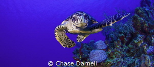 """""""Curious Commotion""""  This medium sized Hawksbill was so... by Chase Darnell"""