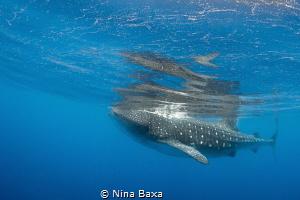 Peace ~ Whale Shark feeding in peace on the roe-strewn su... by Nina Baxa