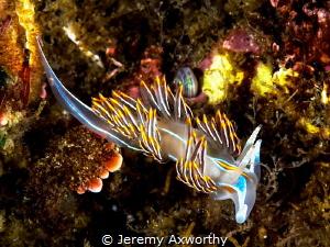opalescent sea slug by Jeremy Axworthy