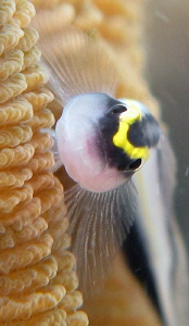 sharknose goby ... apnea shoot by Durand Gerald