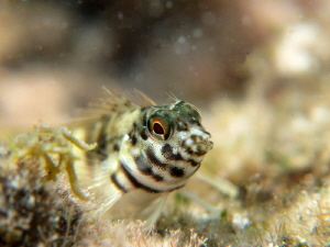 saddled blenny ... apnea shoot by Durand Gerald