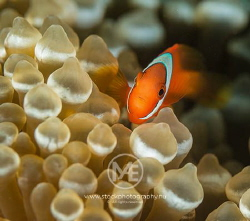 Clownfish above an anemone. by Arno Enzo