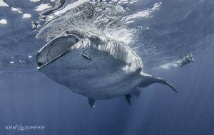 This Whale Shark kept her eye on me as she was curving by... by Ken Kiefer