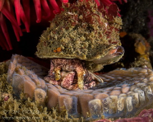 Hairy Triton looking over it's eggs